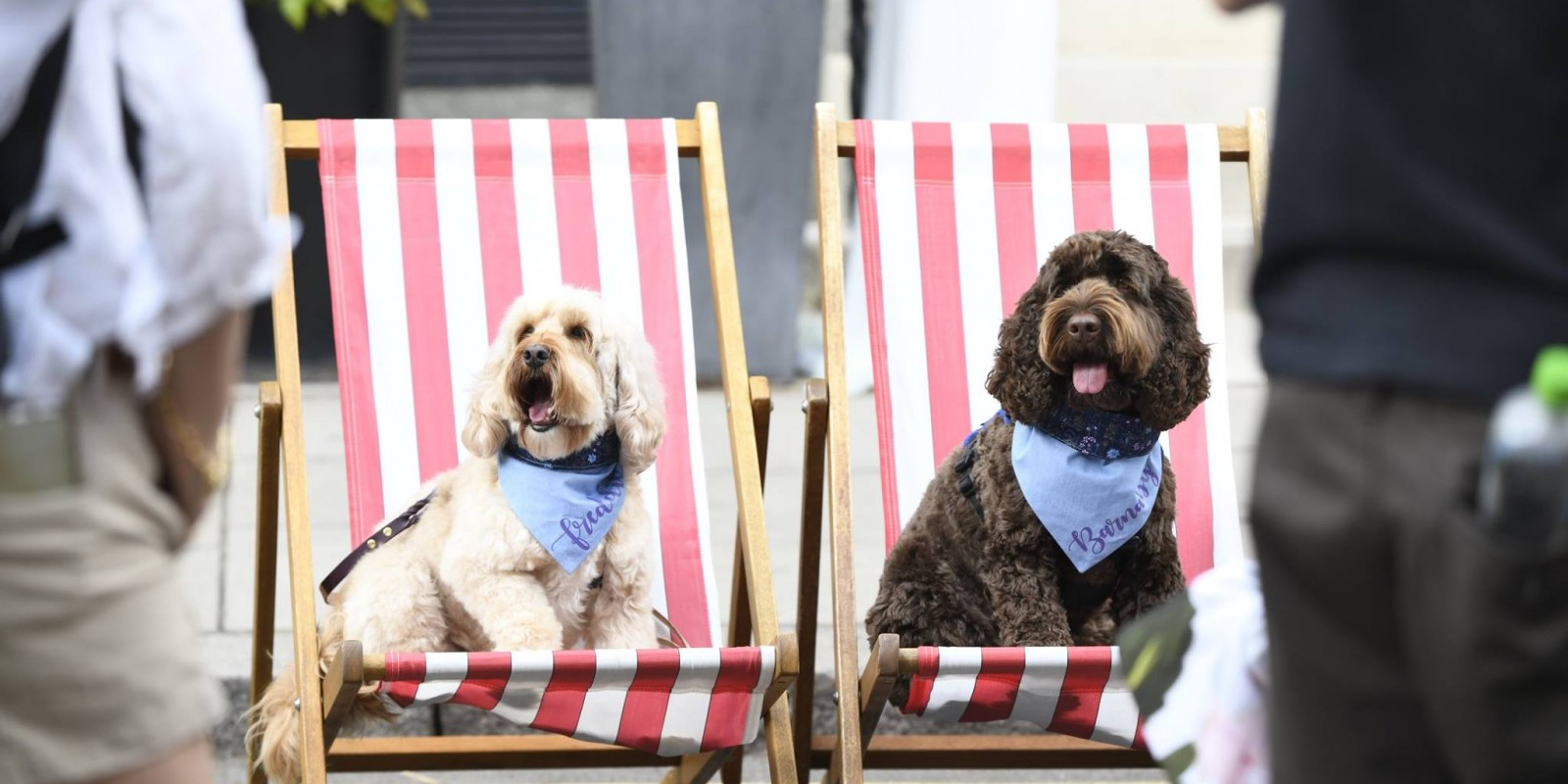 Dogs on Chairs
